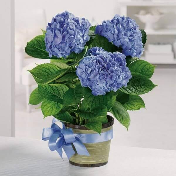 Hình ảnh: Hoa cẩm tủ cầu